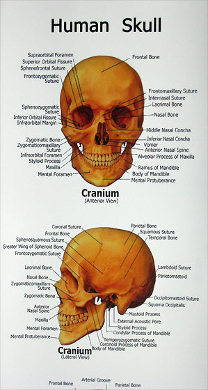 Excellent 3 Piece Life Size Human Skull W Skull Chart